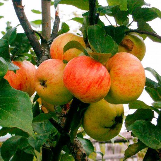 Яблоня сорта Коричное новое