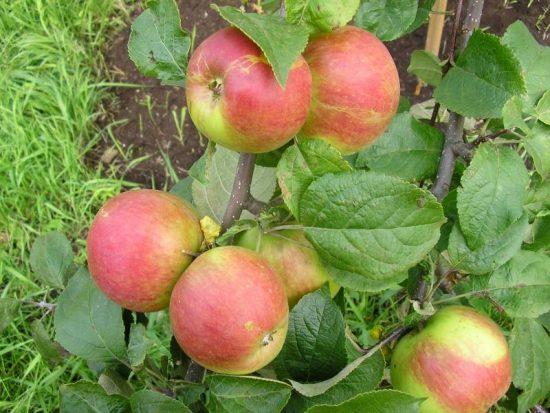 Яблоня сорта Юный натуралист