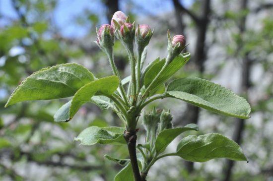 Яблоня в фазе розового бутона