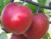 подвой для яблони