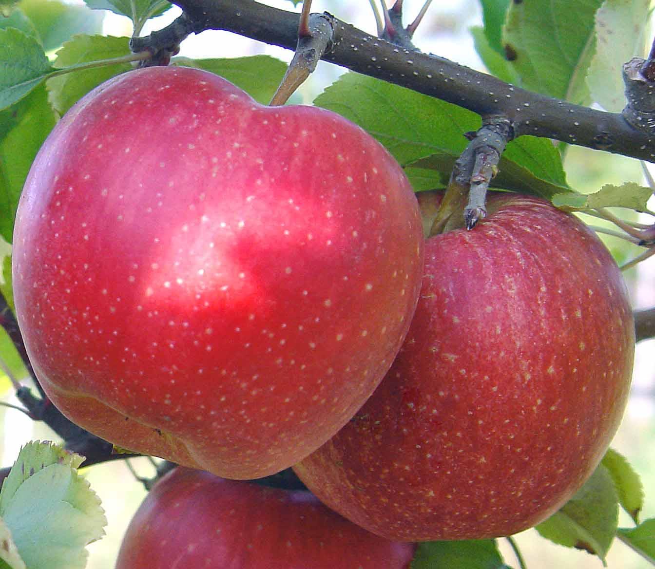 Разновидности подвоев для яблони и особенности их выращивания