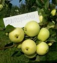 Яблоки сорта Папировка