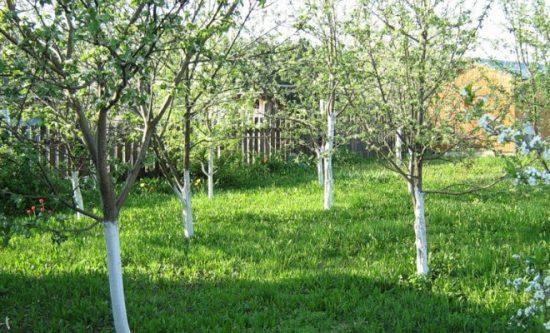 Размещение яблонь рядом с границей участка