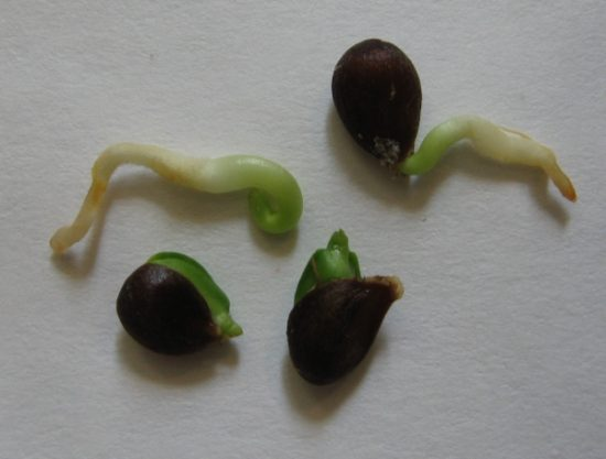 Семена яблони перед посадкой