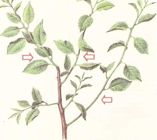 Выбор ветви для черенка