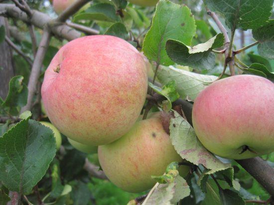 Яблочки сорта Болотовское