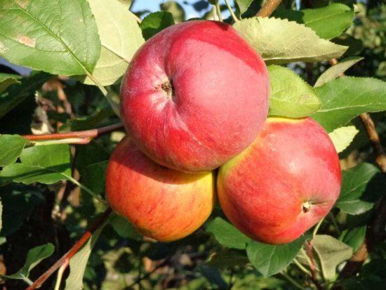 Яблоки сорта Аркаим