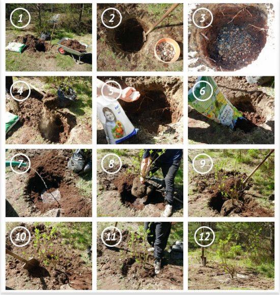 Последовательность весенней посадки яблони с закрытой корневой системой