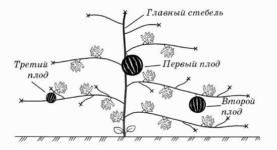 Формирование арбузного куста