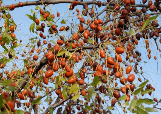 Ветки зизифуса с плодами