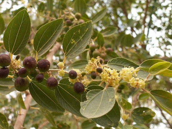 Цветки и завязи плодов унаби