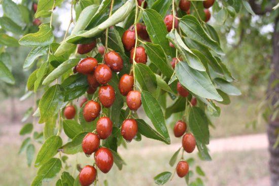 Плоды унаби на ветках после дождя
