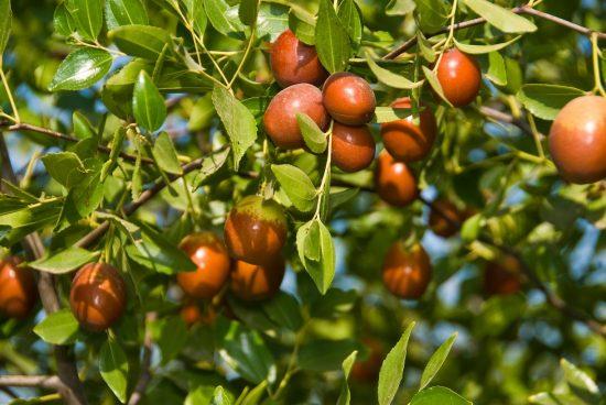 Ветки с созревающими плодами зизифуса