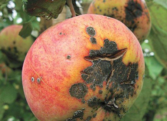 Парша на яблоке