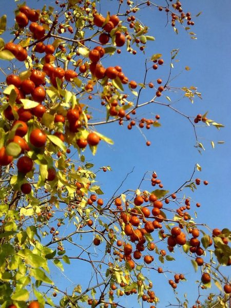 Плоды зизифуса на ветках
