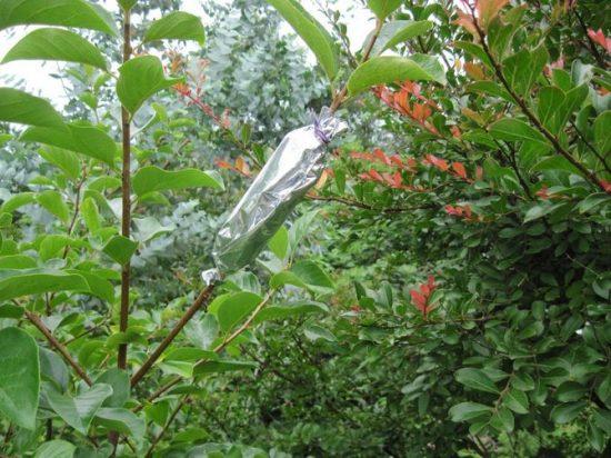 Воздушные отводки на яблоне
