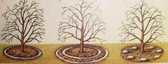 Внесение подкормки в приствольный круг яблони
