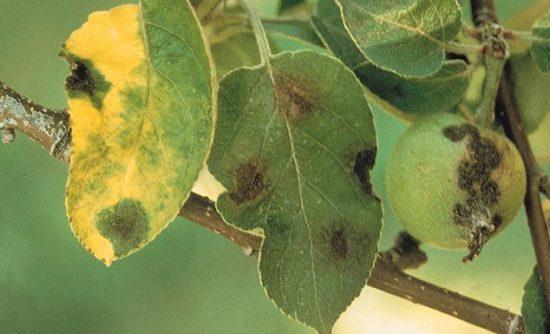 Парша яблонь на листьях и плодах