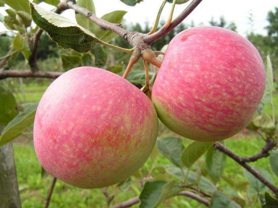 Плоды яблони сорта Осеннее полосатое