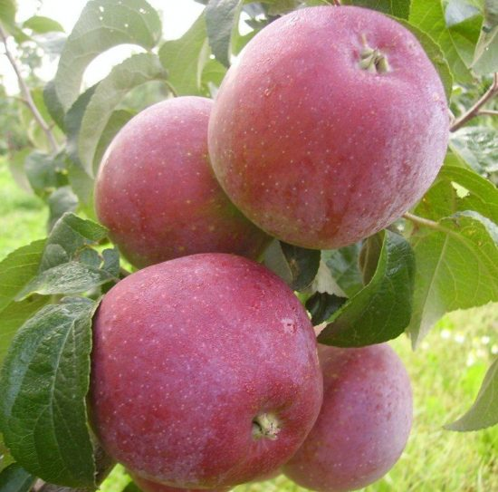 Яблоки сорта Имант