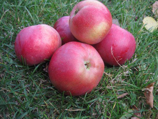 Яблоки Белорусского сладкого