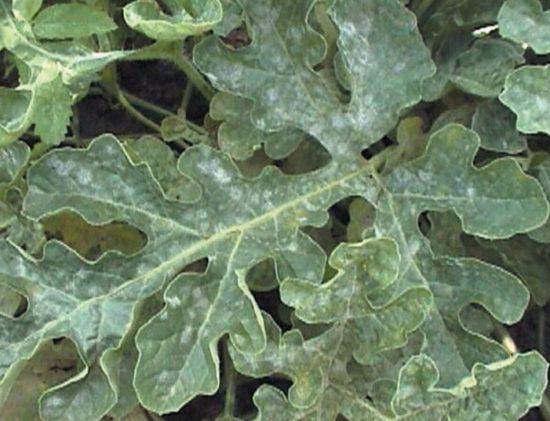 Лист арбуза, заражённого мучнистой росой