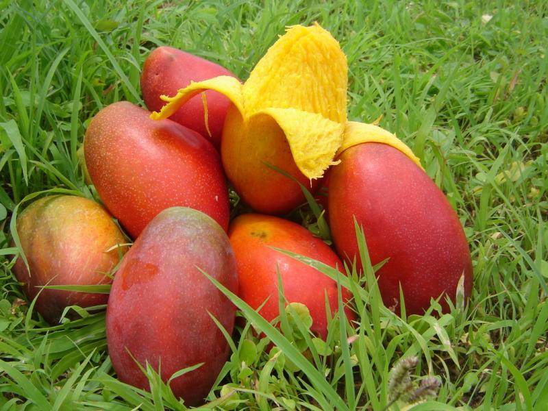 Как вырастить манго из косточки