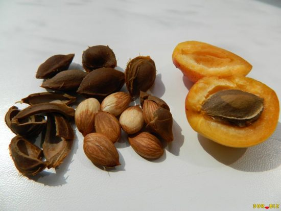 Плод, косточка и ядро абрикоса
