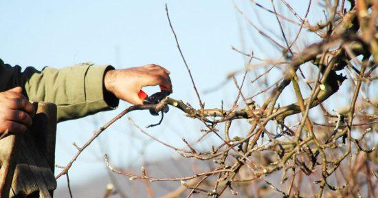 Кривые ветки яблони