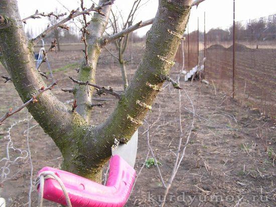 Скелетные ветки яблони
