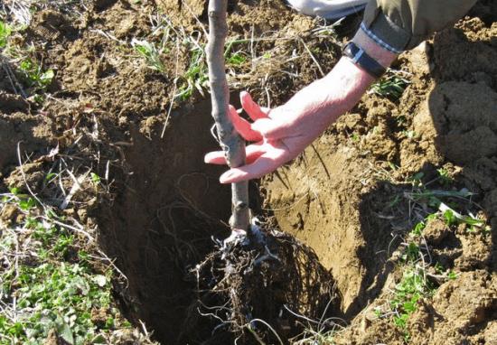 Установка саженца абрикоса на дно посадочной ямы