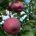 Сорт яблок Аромат Уктуса
