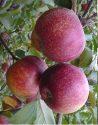 Сорт яблок Аксамит
