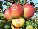 Сорт яблок Белорусское сладкое