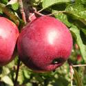 Сорт яблок Дарунок