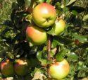 Сорт яблок Дыямент
