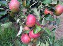 Сорт яблок Елена