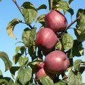 Сорт яблок Зорка