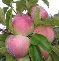 Сорт яблок Паланэз