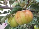 Сорт яблок Медуница