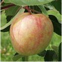 Сорт яблок Сахарный Мирон