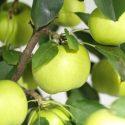 Сорт яблок Чудное