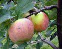 Сорт яблок Витязь