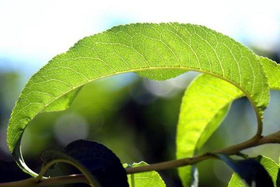 Лист нектарина
