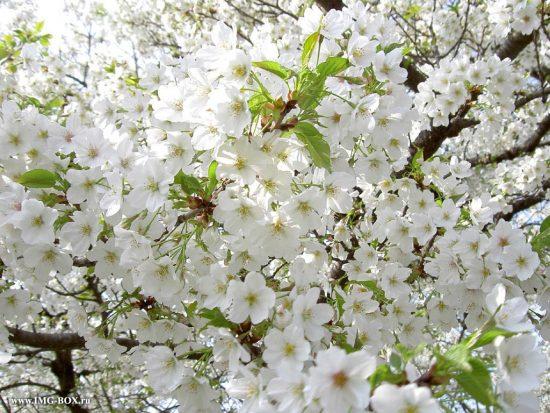 Цветение нектарина