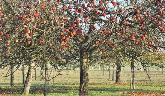 Густо посаженные яблони