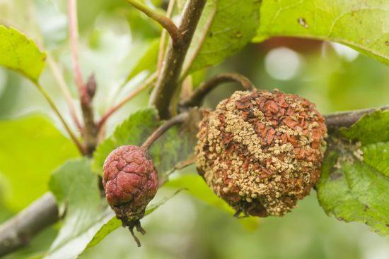Монилиоз (плодовая гниль) яблони