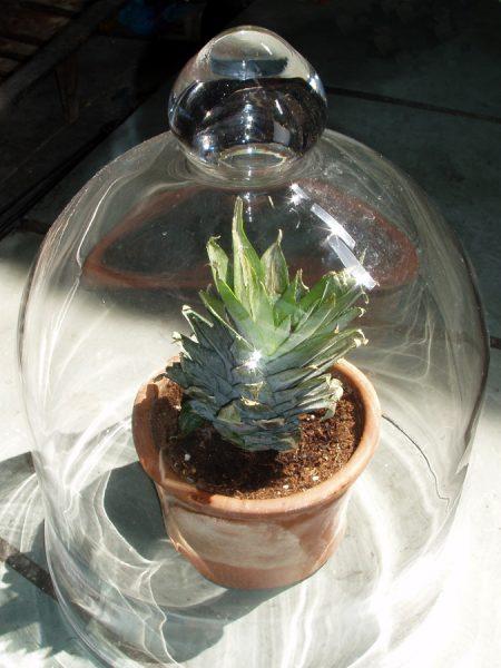 Посадка верхушки ананаса в горошок под стеклянный колпак