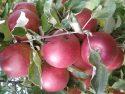 Яблоки сорта Джонатан