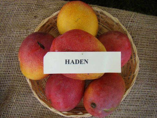 Манго сорта Haden